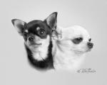 Chihuahuaporträtt
