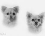 Chihuahuavovvarna