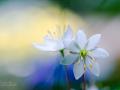 Hjärtats blomster