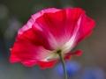 Klädd i rosa och rött