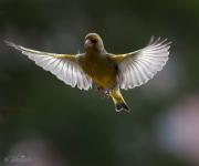 Grönfinken breder ut sina vingar