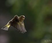 Grönfinken