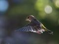 Grönfink under solen