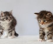 Kattungarna