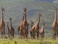 Familjen giraff
