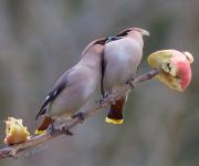 Nu kniper du käft!! Jag VET att ditt äpple är större!