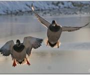 Flygande kvackhannar