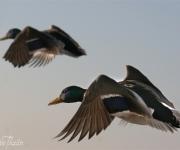 Flygande kvackpojkar