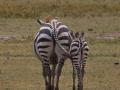 zebror i Lake Manyara, Tanzania