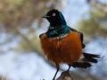 fåglar, tanzania