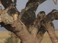 gepard, tanzania