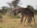 giraffer i serengeti, Tanzania