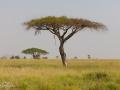 afrikanskt träd, svannen i afrika, tanzania