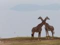 giraffer i Lake Manyara, Tanzania