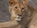 lejon i Serengeti, Tanzania