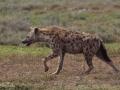 hyena, Ngorongorokratern, Tanzania
