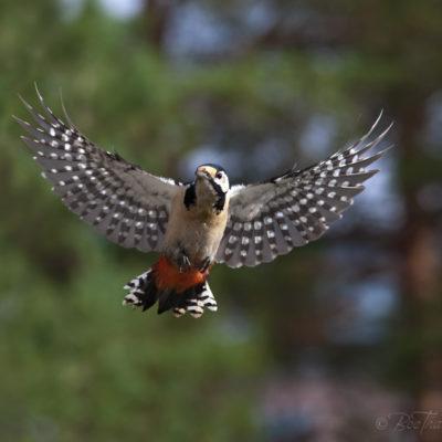 Tavlor - fåglar - hack i häl - hackspett