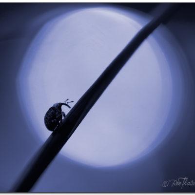 Tavla insekt går uppför ett strå i månskenet