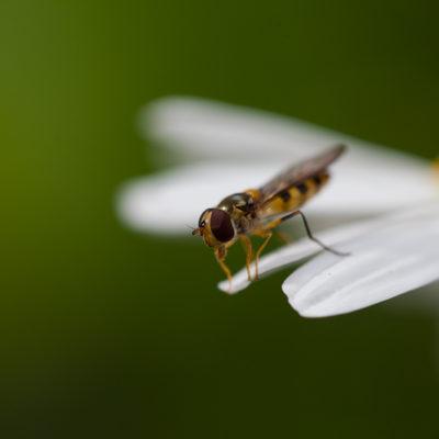 Blomfluga tvekar på bladets kant