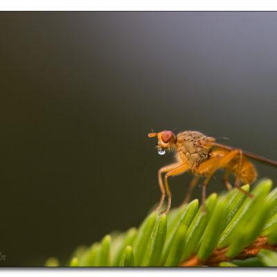 Mygga på ett granbarr