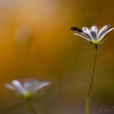Fluga hoppar från blomma