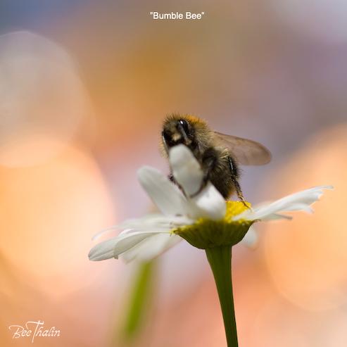 Kort - Bumble Bee