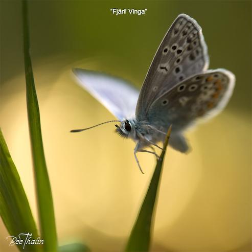 Kort - Fjäril vinga