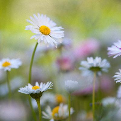 Tavla - Blomsteräng