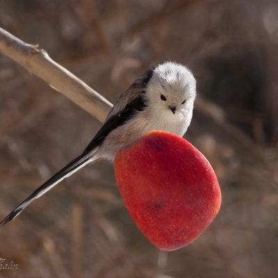Tavlor - fåglar - Ska jag ska jag inte- stjärtmes
