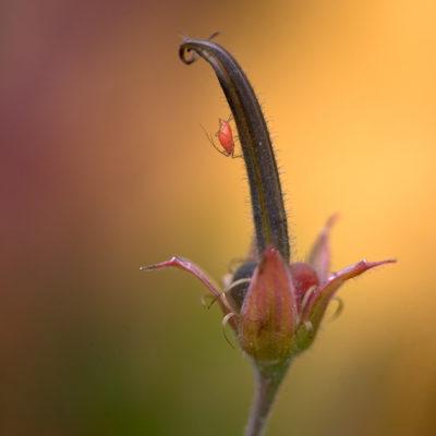 Skär loppa på fjällväxt. Insekter på rosa blomma. Tavla med vacker bakgrund