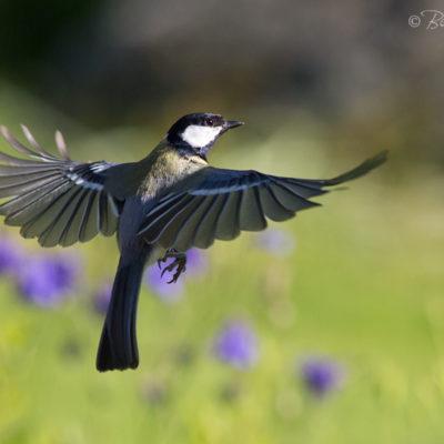 Tavlor - fåglar - ballettdansösen