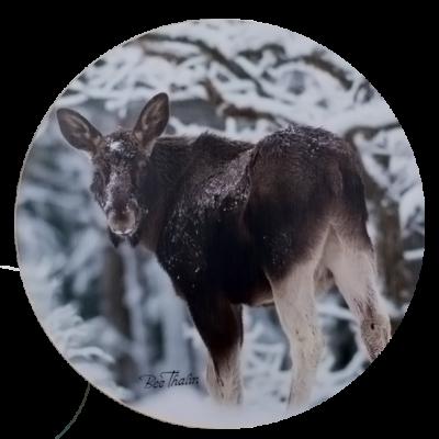 Grytunderlägg - The Elk