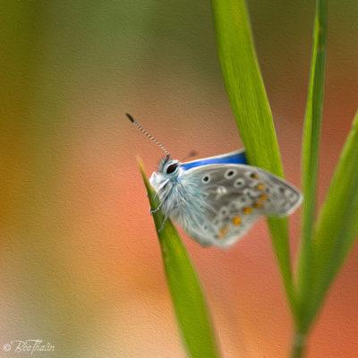 tavlor - art - Fjäril vinga