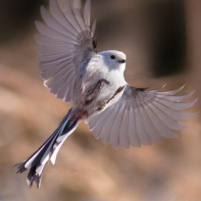Tavlor - fåglar - utsträckt - stjärtmes