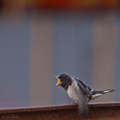 Tavlor - fåglar - Ge mig mat nu - svalor