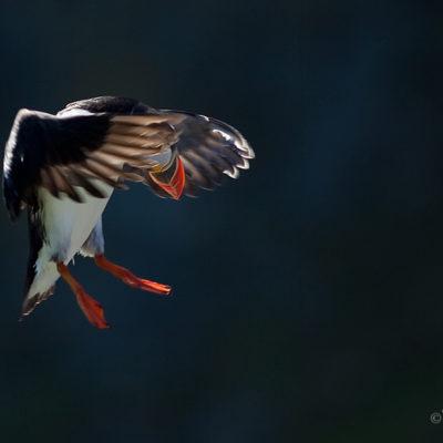 Lunnefågel på väg att landa i vackert ljus. Puffin