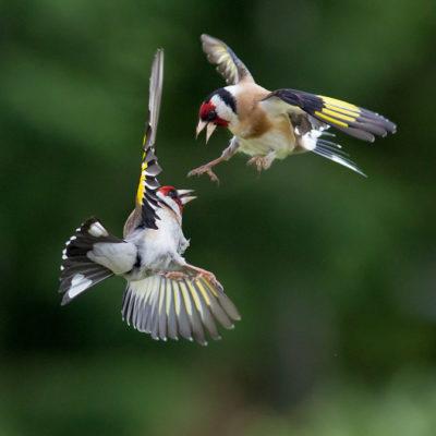 Tavlor - fåglar - Jag ska giva dig på mopo