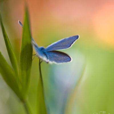 Blåvinge fjäril med underbart vackra blå vingar mot den gröna och oranga bakgrunden.