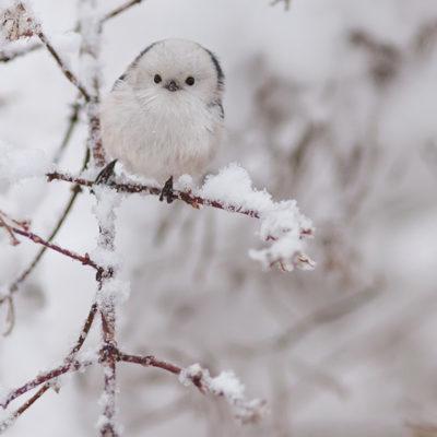 Tavlor - fåglar - sötnos på andra våningen - stjärtmes