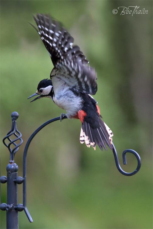 Tavlor - fåglar - Upprörd