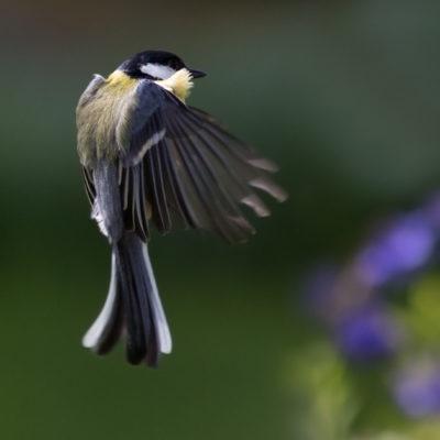Flygande talgoxe vänder ryggen till.