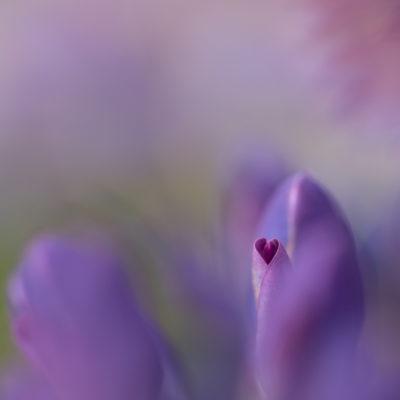 Hjärtats blomma