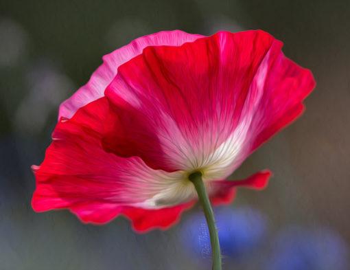 Vallmo - Klädd i rosa och rött