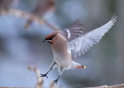 Akrobatik på grenen