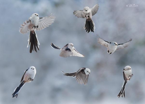 stjärtmes - Akrobatik i luften
