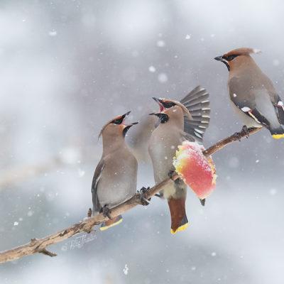 Sidensvansar - fågeltavla